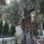 Starý olivovník na hoře Karmel v Haifě