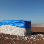 Sklizená bavlna u kibucu nedaleko Nazareta a vzadu je vidět lán bavlny před sklizní