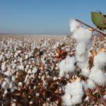 U kibucu rostla na polích bavlna