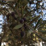 Olivy v kibucu...