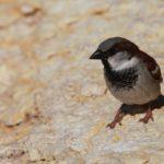 Izraelský vrabčák.