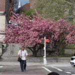 Počátkem května jsme Ameriku zastihli oblečenou do kvetoucíh stromů.