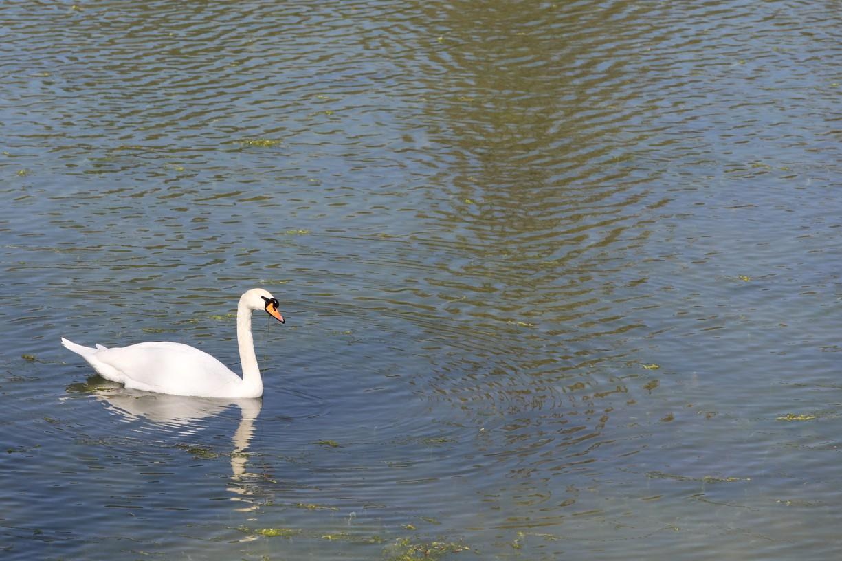 Po rybníku plavaly také labutě