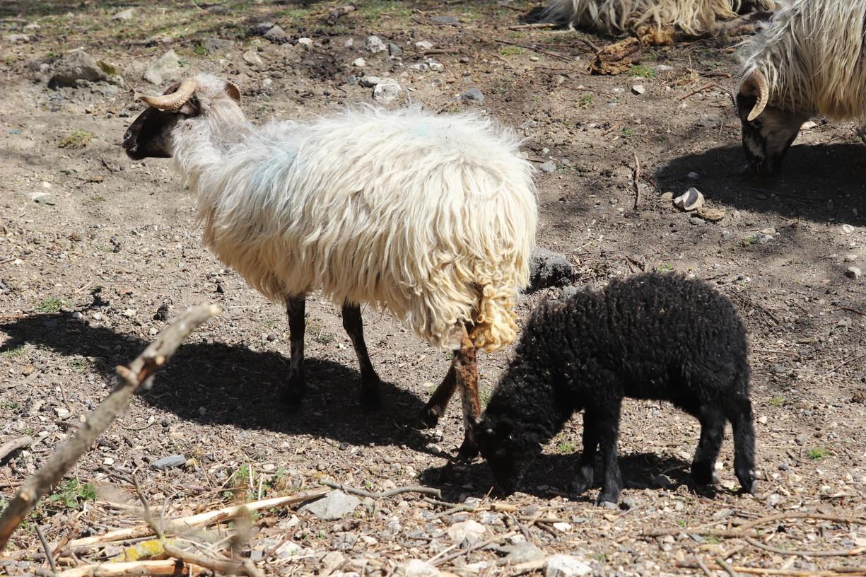 Při cestě bylo možné sledovat i ovečky