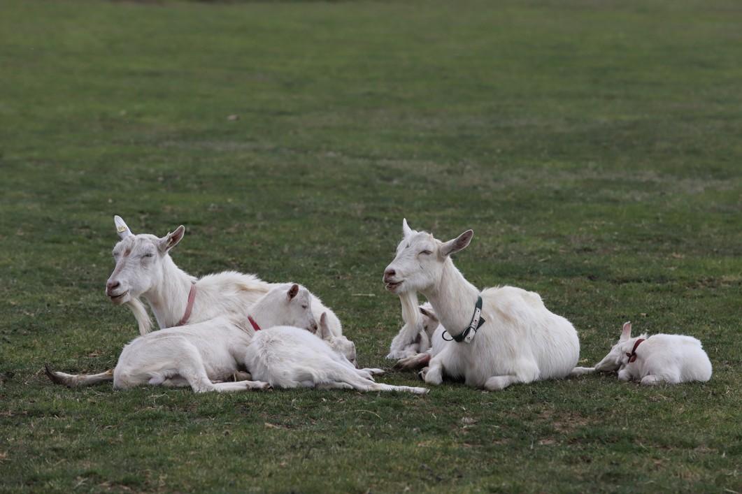 Kozy na farmě žijí šťastný život