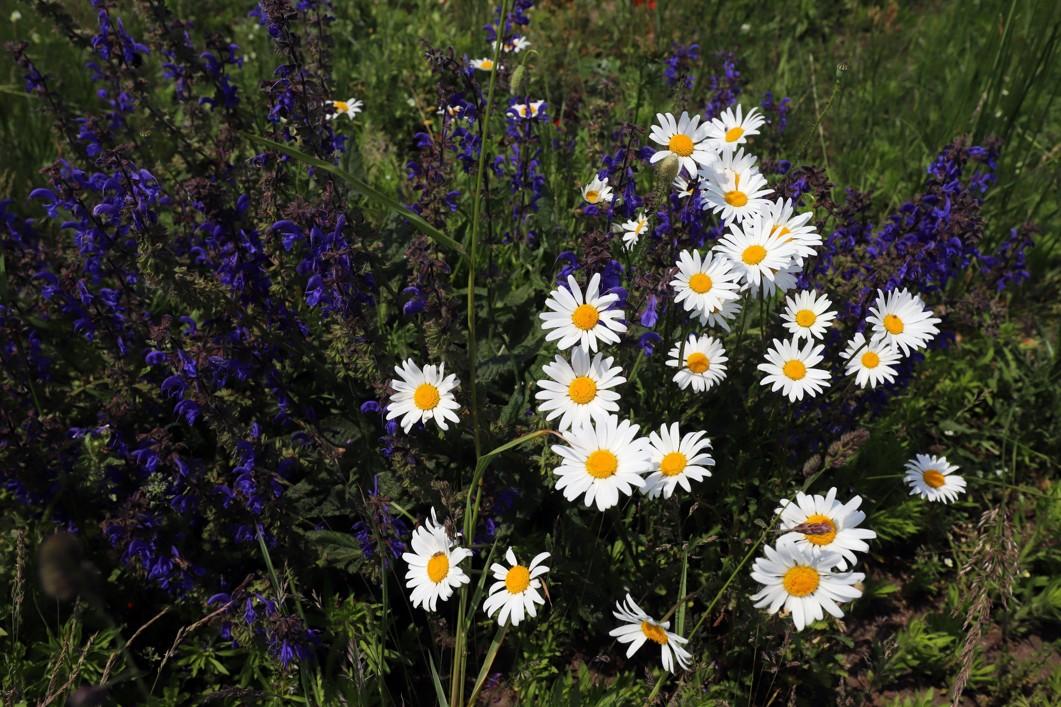 Kvetoucí louky na slovenské straně řeky Moravy.