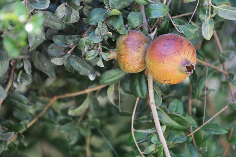 Mimo jiné dozrávala právě i granátová jablíčka