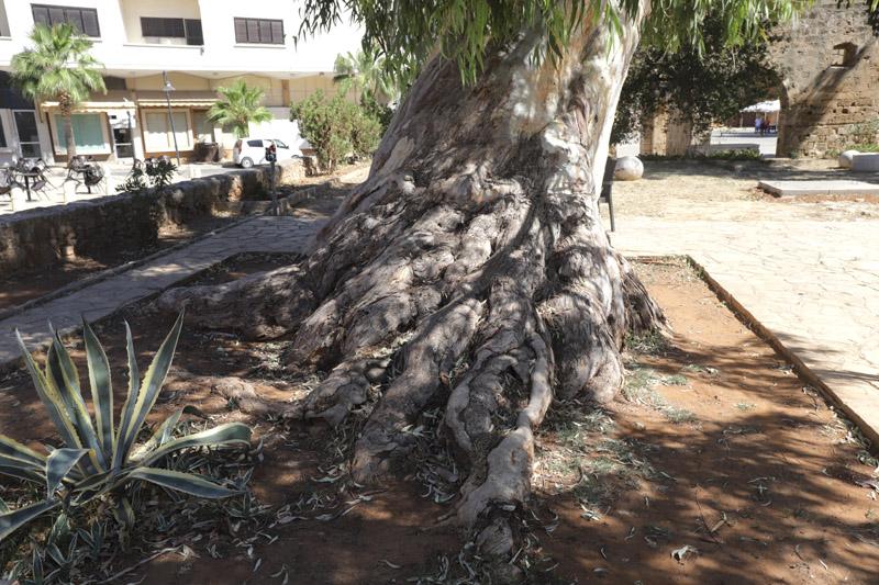 Kdo ví, kolik let má tento strom v centru Famagusty
